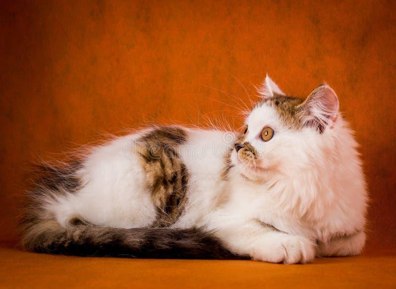 Σκωτσέζικη ταρταρούγα και άσπρο ευθύ γατάκι στοκ εικόνες