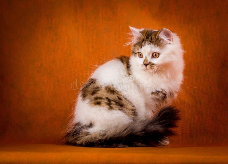 Σκωτσέζικη ταρταρούγα και άσπρο ευθύ γατάκι στοκ φωτογραφία με δικαίωμα ελεύθερης χρήσης