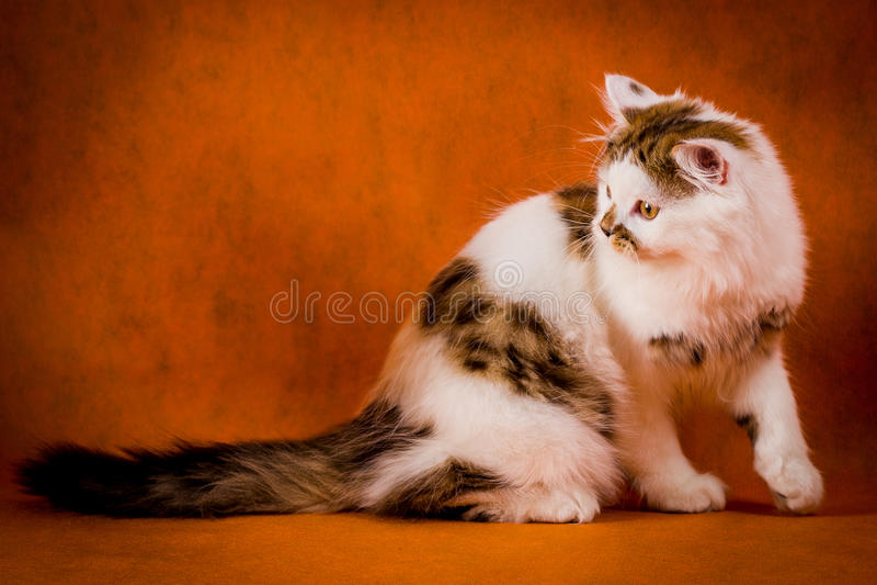 Σκωτσέζικη ταρταρούγα και άσπρο ευθύ πορτρέτο γατακιών στοκ εικόνες