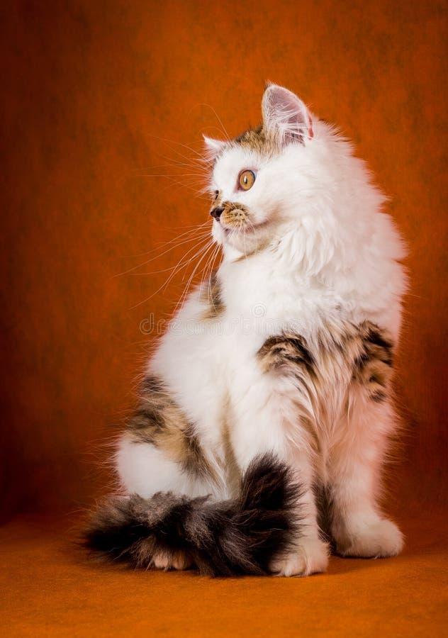Σκωτσέζικη ταρταρούγα και άσπρο ευθύ πορτρέτο γατακιών στοκ φωτογραφία