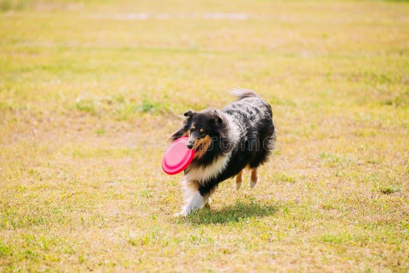 Σκωτσέζικος αγγλικός τραχύς μακρυμάλλης ενήλικος Lassie κόλλεϊ Tricolor στοκ φωτογραφία