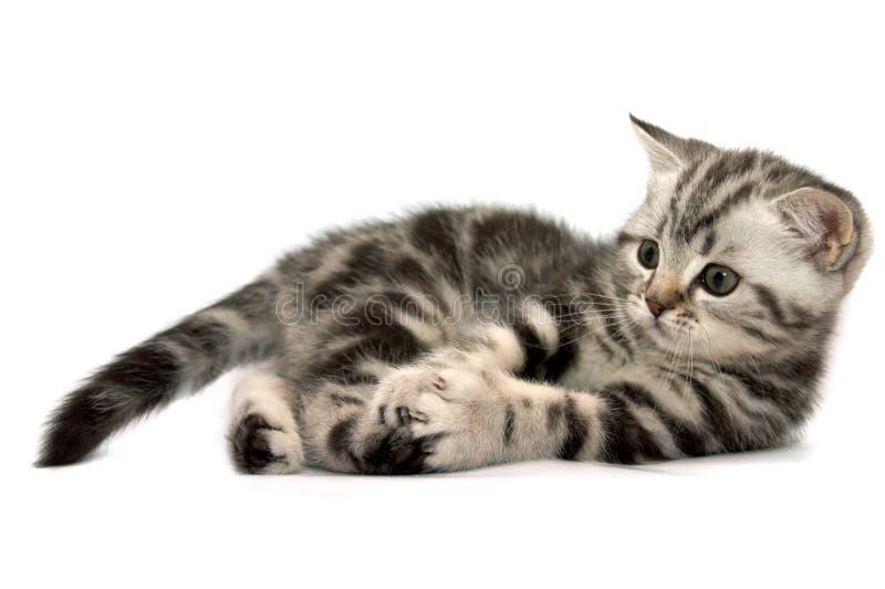 σκωτσέζικος ευθύς γατών στοκ εικόνα