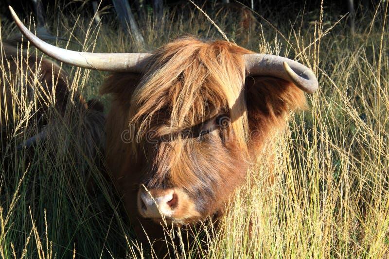 Σκωτσέζικος Highlander ως μεγάλο grazer στοκ εικόνα