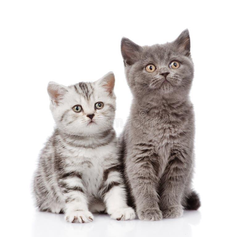 Σκωτσέζικο γατάκι και βρετανικό γατάκι shorthair Απομονωμένος στο λευκό στοκ εικόνες
