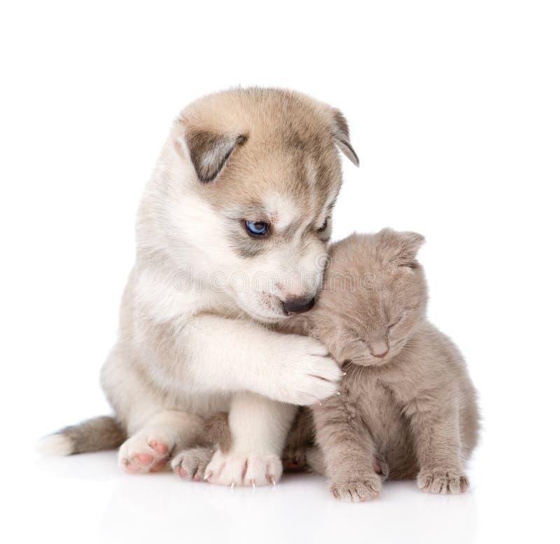 Σκωτσέζικο γατάκι και σιβηρικό γεροδεμένο κουτάβι από κοινού Απομονωμένος επάνω στοκ εικόνες