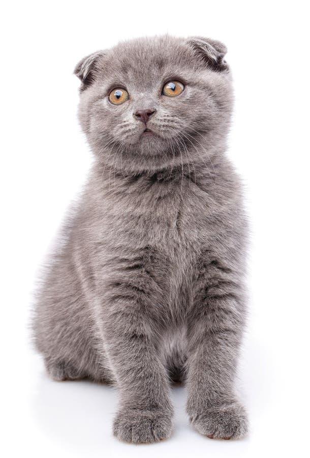 Σκωτσέζικο γατάκι πτυχών που απομονώνεται σε ένα άσπρο υπόβαθρο Ένα γκρίζο χνουδωτό γατάκι στοκ εικόνες με δικαίωμα ελεύθερης χρήσης