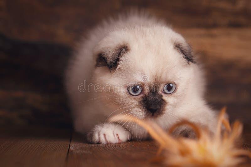 Σκωτσέζικο γατάκι πτυχών Το χνουδωτό γατάκι παίζει στοκ εικόνες