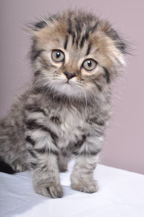 Σκωτσέζικο γατάκι πτυχών στοκ φωτογραφία με δικαίωμα ελεύθερης χρήσης