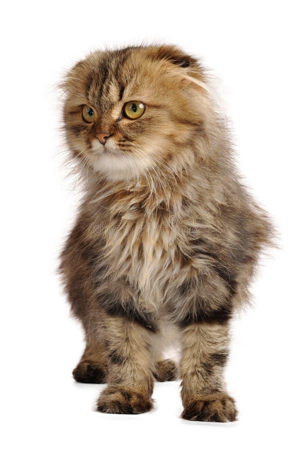 Σκωτσέζικο γατάκι πτυχών στοκ εικόνα
