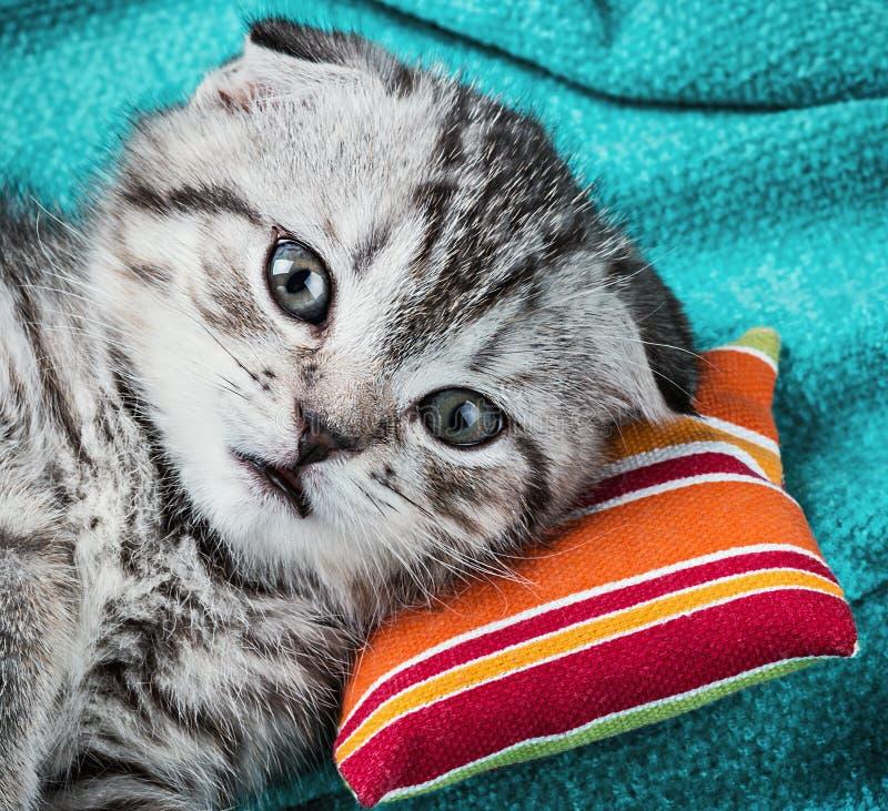 Σκωτσέζικο γατάκι πτυχών στοκ εικόνα με δικαίωμα ελεύθερης χρήσης