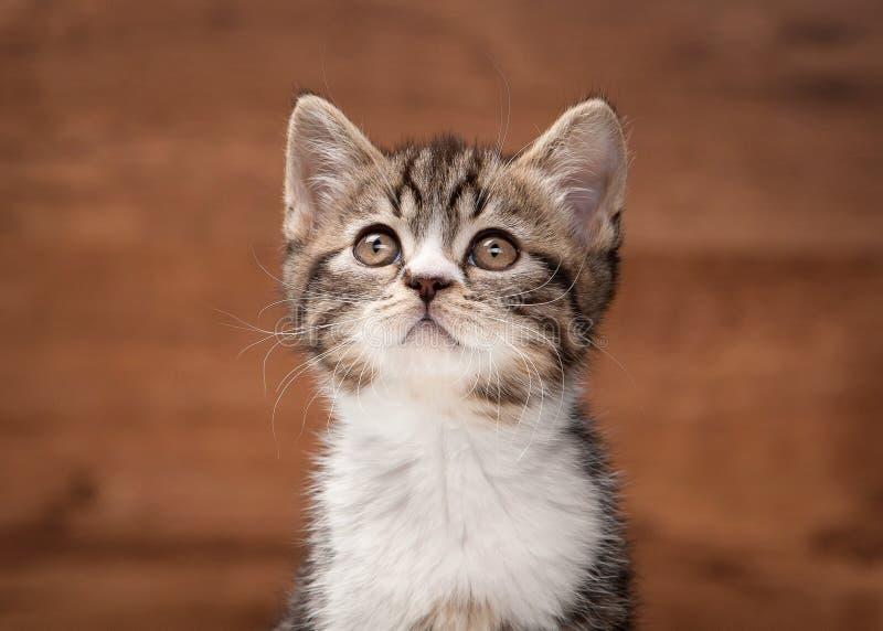 Σκωτσέζικο ευθύ γατάκι στον καθρέφτη και την ξύλινη σύσταση στοκ εικόνες