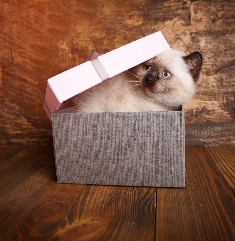 Σκωτσέζικο ευθύ χρώμα κρέμας γατών Ένα εύθυμο γατάκι στο κιβώτιο στοκ εικόνα