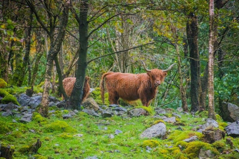 Σκωτσέζικο καλυμμένο βρύο τοπίο Νορβηγία βόειου κρέατος ορεινών περιοχών στοκ φωτογραφίες