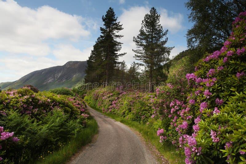 Σκωτσέζικο τοπίο με τα πορφυρά λουλούδια στο πρώτο πλάνο στοκ εικόνες
