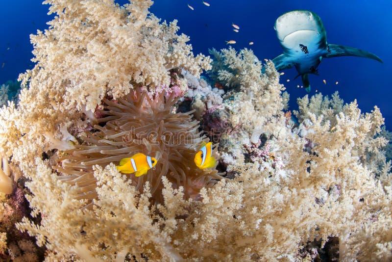 Σκόπελος με τα ψάρια καρχαριών και anemone στοκ φωτογραφία