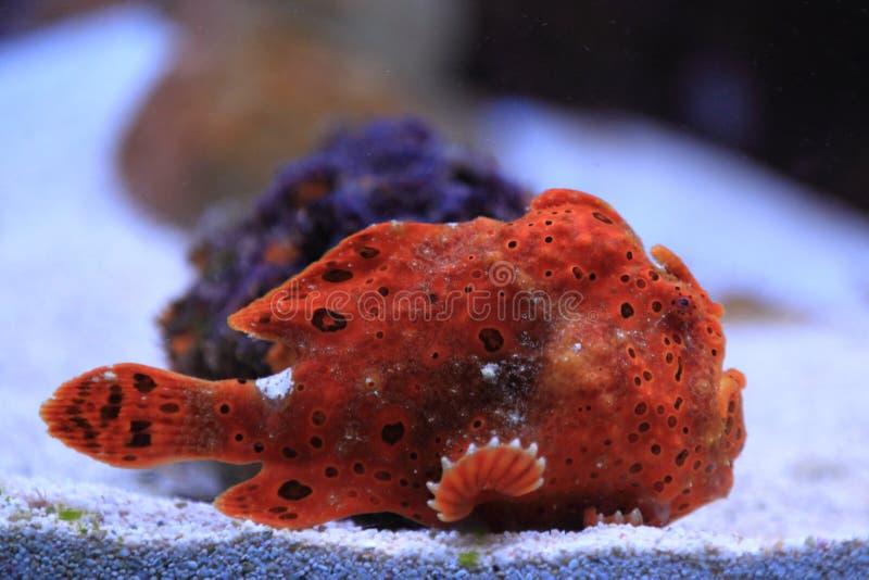 Σκόπελος stonefish στοκ φωτογραφία