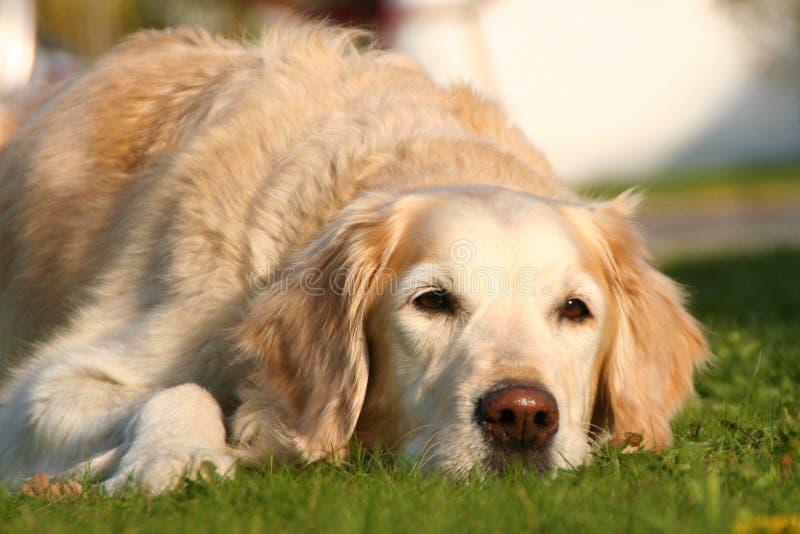 Σκύλος, Ράτσα Σκύλου, Χρυσός Ανακτητής, Ανακτητής στοκ φωτογραφία με δικαίωμα ελεύθερης χρήσης