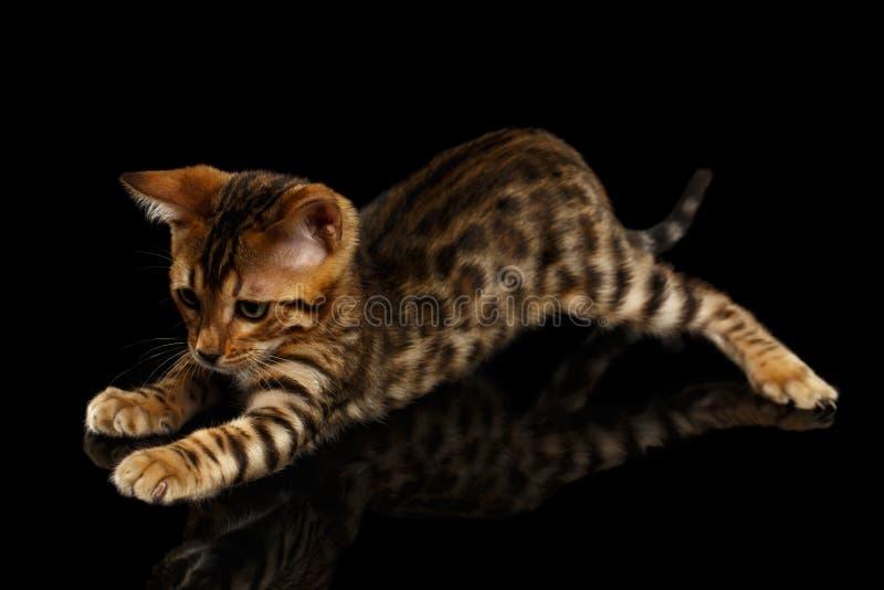 Σκύψιμο του γατακιού της Βεγγάλης στο Μαύρο στοκ εικόνες
