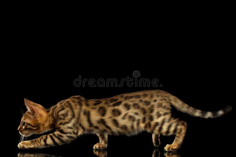 Σκύψιμο του γατακιού της Βεγγάλης στο Μαύρο στοκ φωτογραφία με δικαίωμα ελεύθερης χρήσης