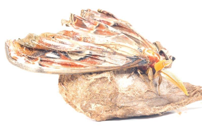 Σκώρος ατλάντων Attacus στοκ εικόνες
