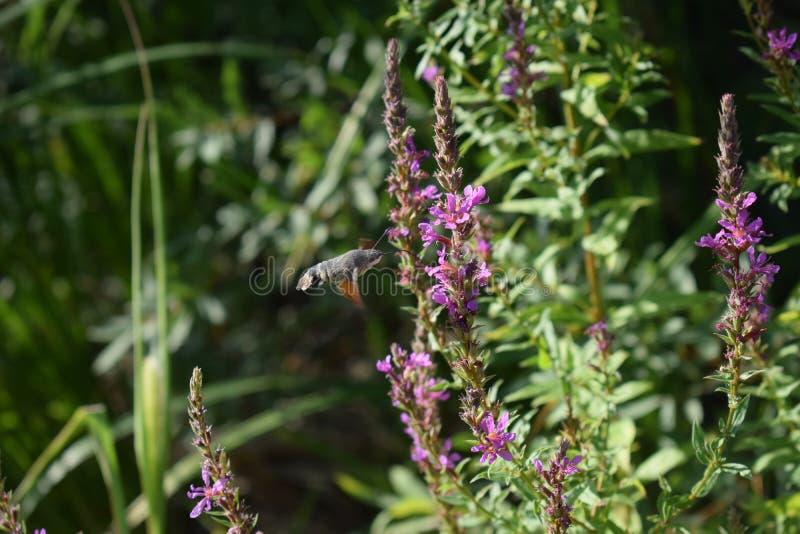 Σκώρος γερακιών στο λουλούδι στοκ εικόνα με δικαίωμα ελεύθερης χρήσης
