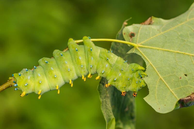 Σκώρος Caterpillar Cecropia στοκ φωτογραφίες με δικαίωμα ελεύθερης χρήσης