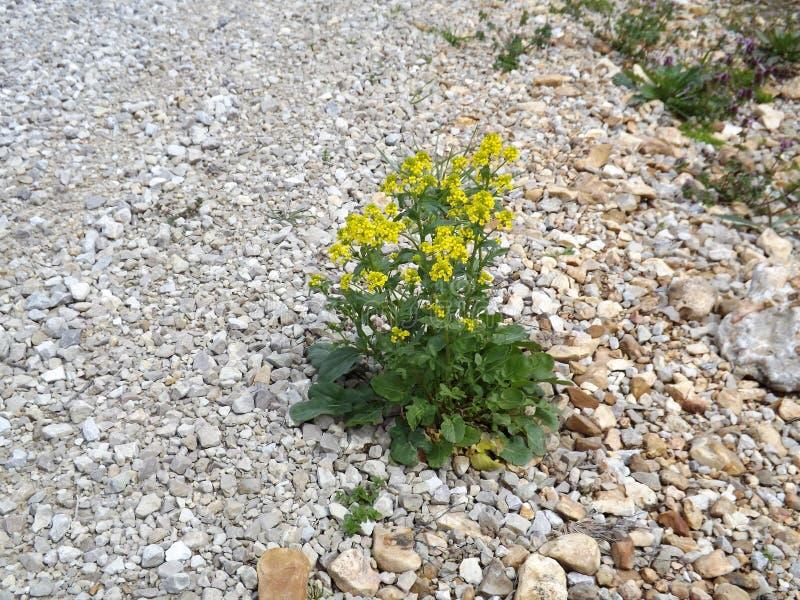 Σκληρό λουλούδι στοκ εικόνες