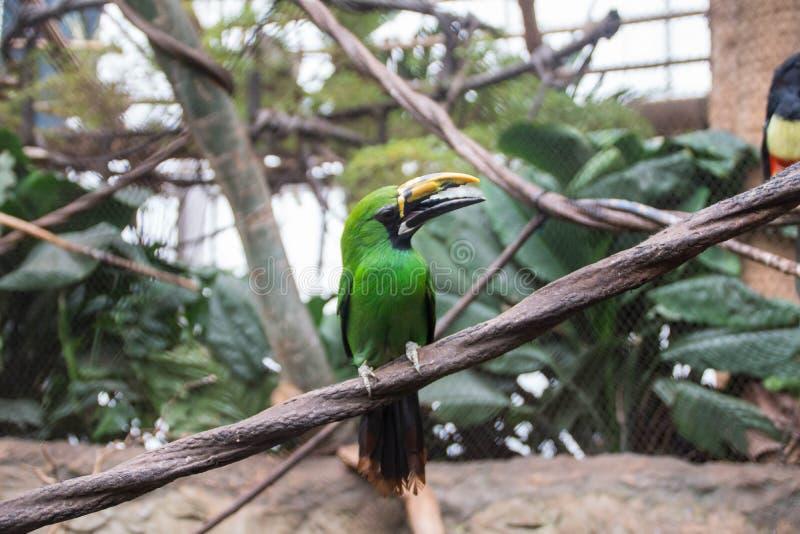 Σμάραγδος toucanet στο ζωολογικό κήπο στοκ εικόνες