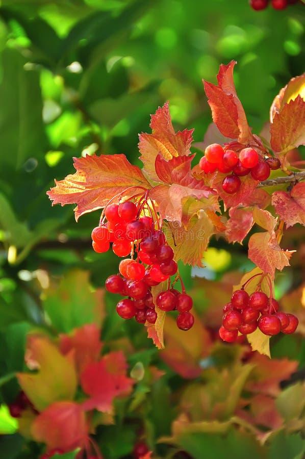Σμέουρα στο θάμνο και τα φωτεινά κόκκινα φύλλα στοκ εικόνες