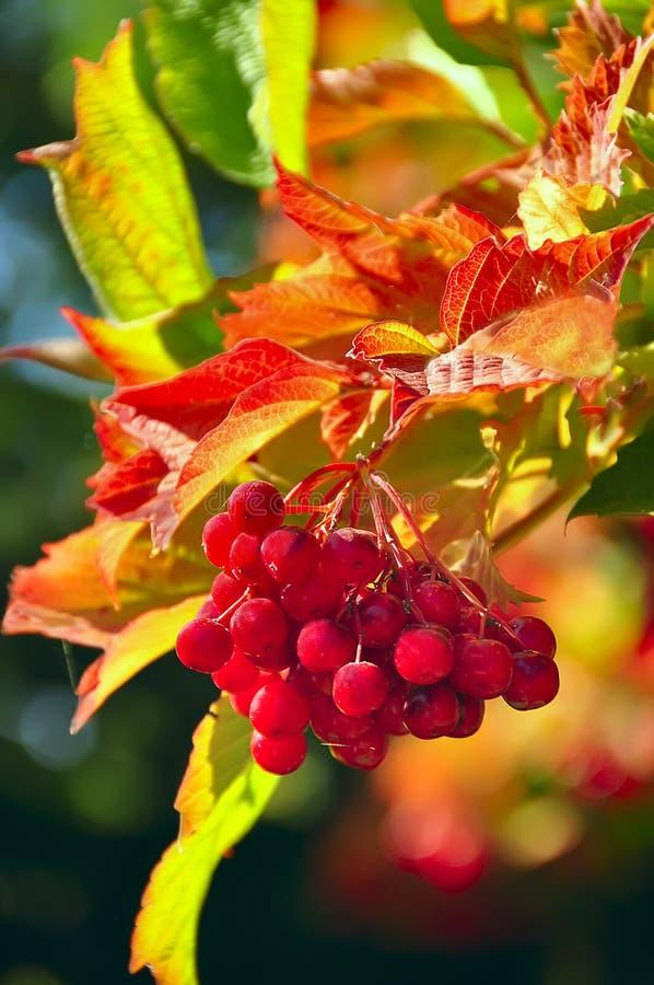 Σμέουρα στο θάμνο και τα φωτεινά κόκκινα φύλλα στοκ φωτογραφία