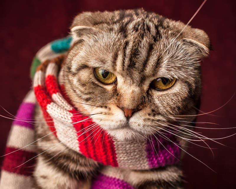 Σοβαρή σκωτσέζικη γάτα πτυχών στο ριγωτό μαντίλι στοκ εικόνες