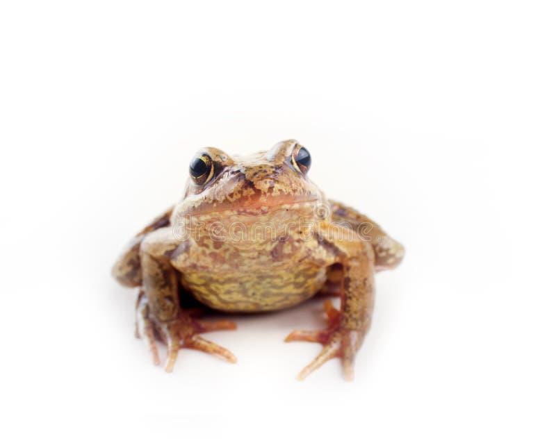 Σοβαρός βάτραχος στο άσπρο υπόβαθρο στοκ φωτογραφίες με δικαίωμα ελεύθερης χρήσης