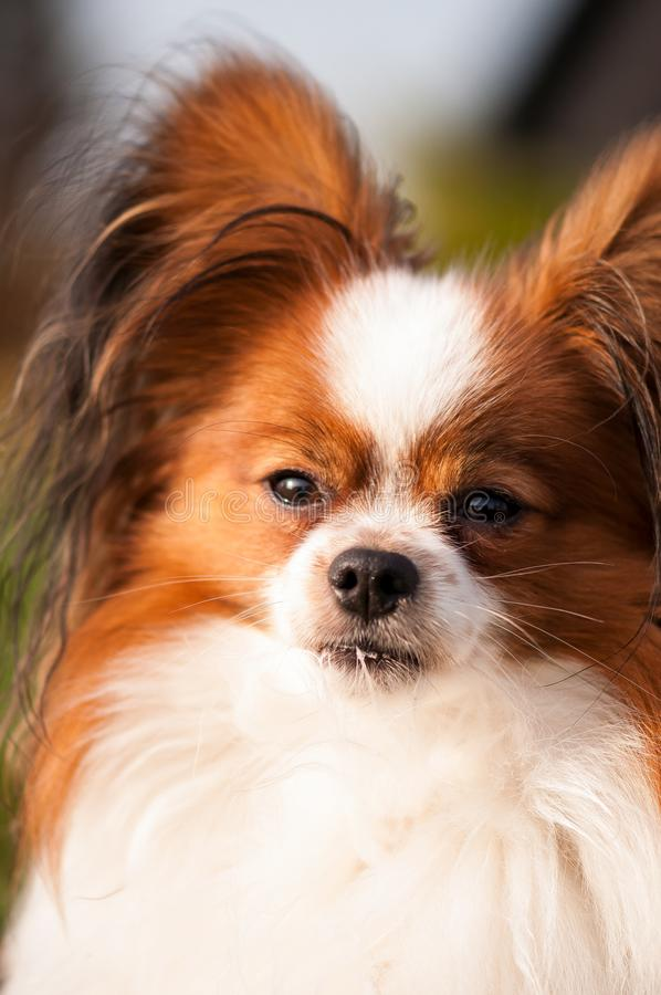 Σοβαρός κοιτάξτε του σκυλιού papillon στοκ φωτογραφία με δικαίωμα ελεύθερης χρήσης