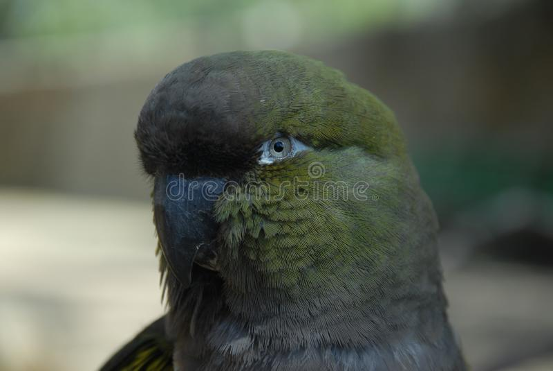 Σοβαρός παπαγάλος στοκ φωτογραφίες με δικαίωμα ελεύθερης χρήσης