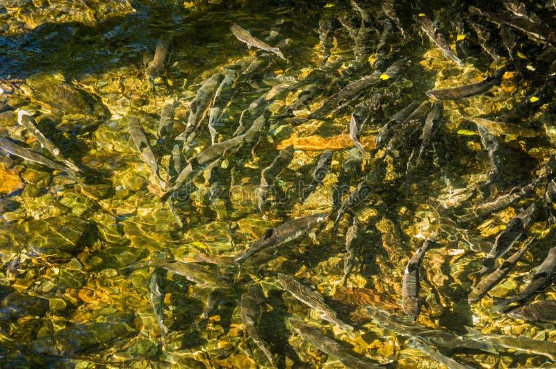 Σολομός σινούκ ωοτοκίας στις χαμηλές στάθμες ύδατος, κολπίσκος Ketchikan, Αλάσκα, ΗΠΑ στοκ φωτογραφίες με δικαίωμα ελεύθερης χρήσης