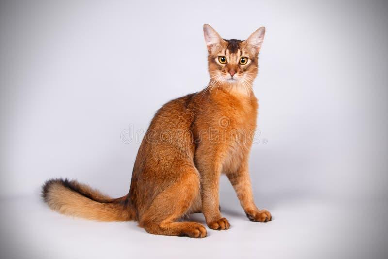 Σομαλική γάτα στα χρωματισμένα υπόβαθρα στοκ εικόνες