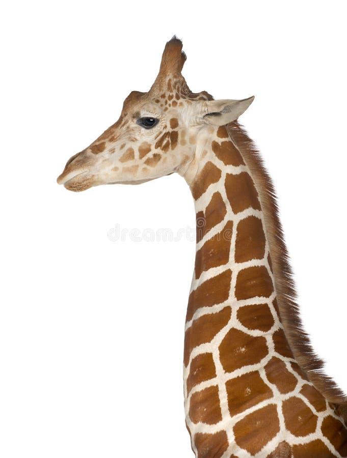 Σομαλικό Giraffe στοκ εικόνα με δικαίωμα ελεύθερης χρήσης
