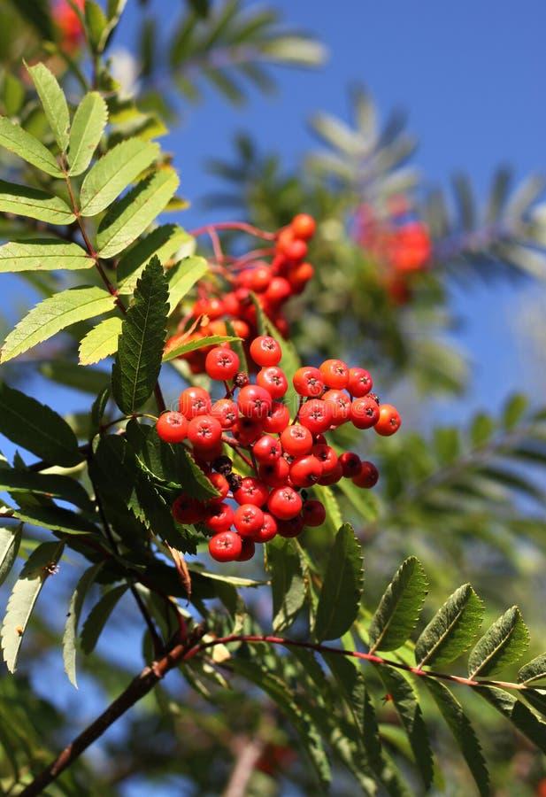 Σορβιά το φθινόπωρο με τα κόκκινα μούρα στοκ εικόνα