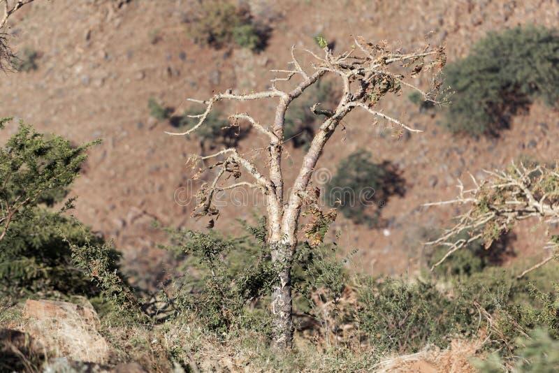 Σουδανέζικα frankincense δέντρο & x28 Boswellia papyrifera& x29  στοκ εικόνα