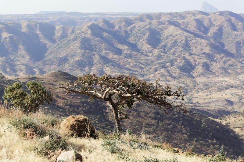 Σουδανέζικα frankincense δέντρο & x28 Boswellia papyrifera& x29  στοκ εικόνες