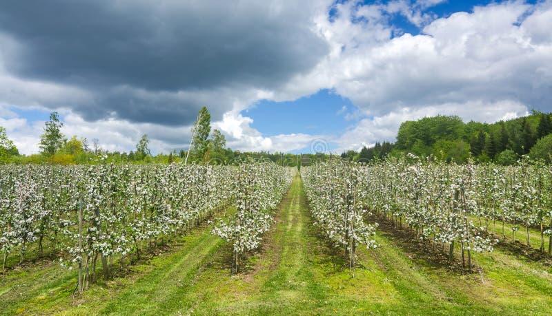 Σουηδική φυτεία μήλων στοκ φωτογραφία