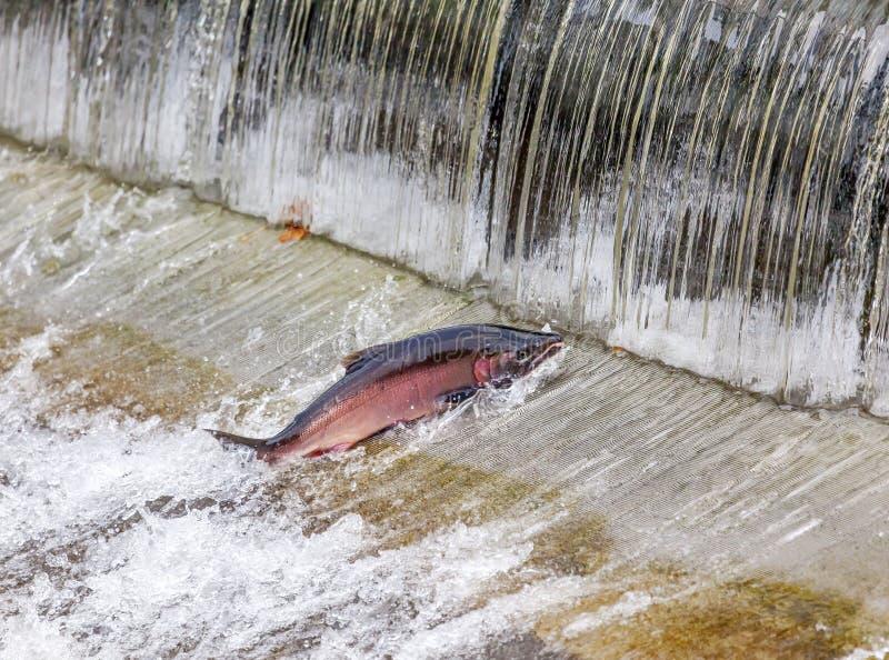 Σολομός Coho σινούκ που πηδά το πολιτεία της Washington εκκολαπτηρίων Issaquah στοκ φωτογραφία
