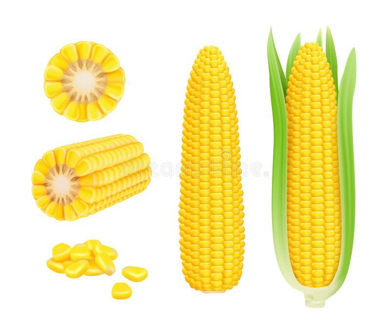 Σπάδικας καλαμποκιού ρεαλιστικός Κίτρινο κονσερβοποιημένο φρέσκο sweetcorn συγκομιδών λαχανικών καλαμποκιού διανυσματικό πρότυπο ελεύθερη απεικόνιση δικαιώματος