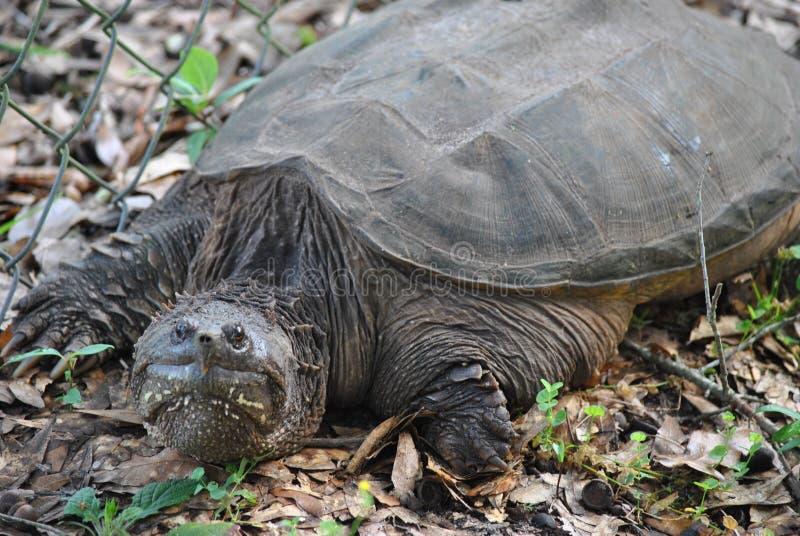 Σπάζοντας απότομα χελώνα της Φλώριδας στοκ εικόνα με δικαίωμα ελεύθερης χρήσης