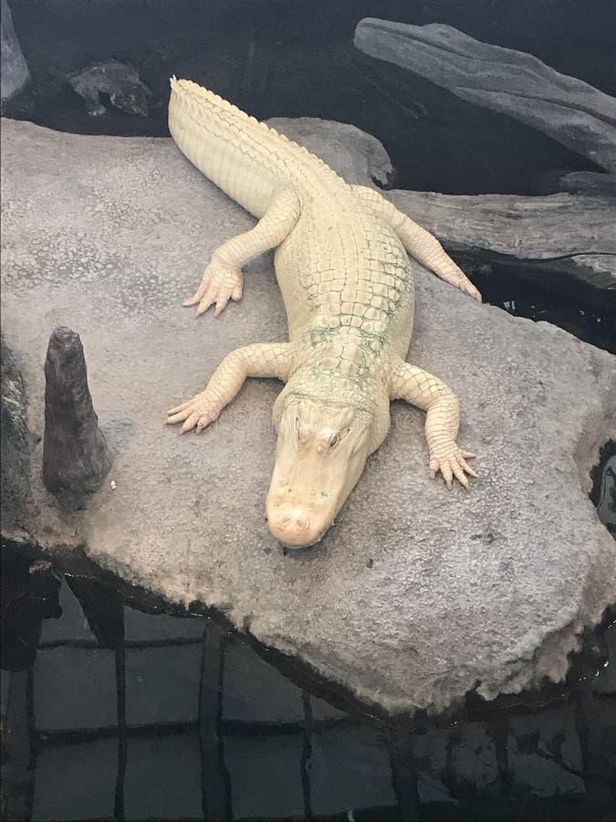 Σπάνιος άσπρος κροκόδειλος στοκ φωτογραφίες