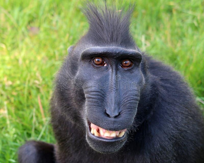Σπάνιος λοφιοφόρος πίθηκος στοκ φωτογραφία με δικαίωμα ελεύθερης χρήσης