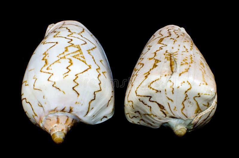 Σπάνιο θαλάσσιο θαλασσινό κοχύλι nobilis Cymbiola στοκ φωτογραφίες