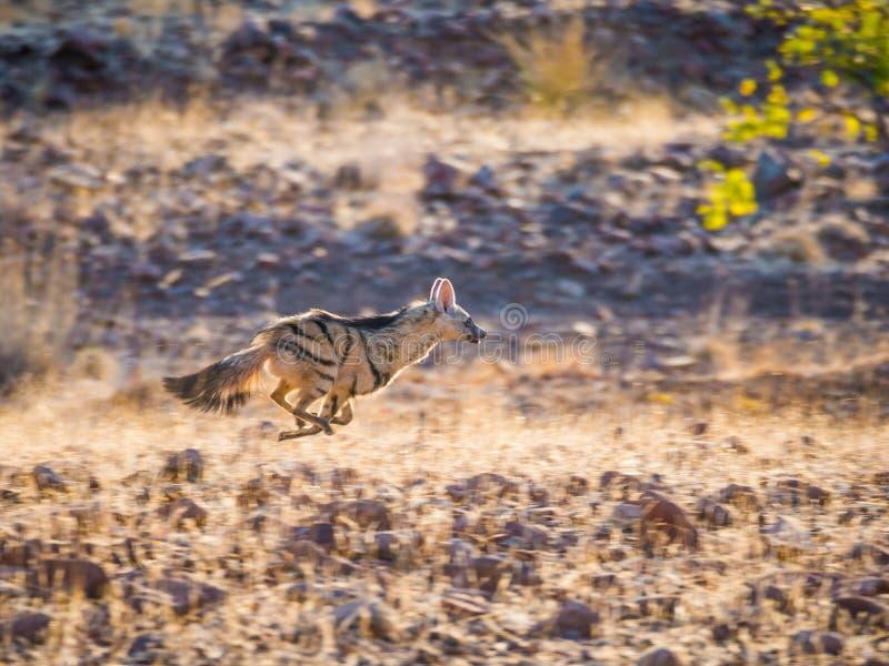 Σπάνιο νυκτερινό Aardwolf που τρέχει ή που φεύγει στο χρυσό φως απογεύματος στοκ εικόνες