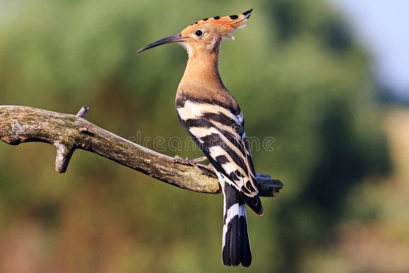 Σπάνιο πουλί με ένα κτύπημα στο κεφάλι στοκ φωτογραφία με δικαίωμα ελεύθερης χρήσης