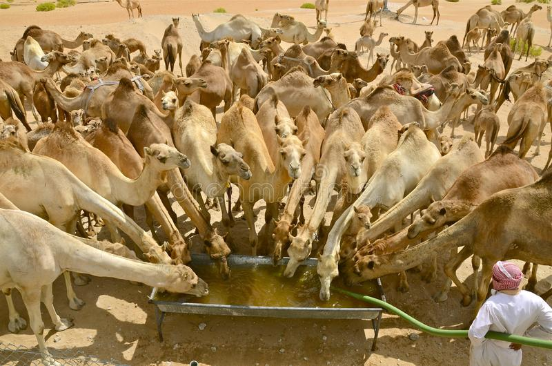 Download Σπάσιμο νερού καμηλών στοκ εικόνες. εικόνα από αμμόλοφος - 62704938